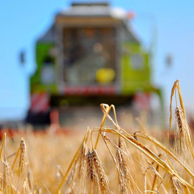 Ein Mähdrescher auf einem Getreidefeld